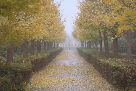 朝霧の中の銀杏並木の写真素材 [FYI03426358]
