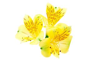 アルストロメリアの花首の写真素材 [FYI03426444]