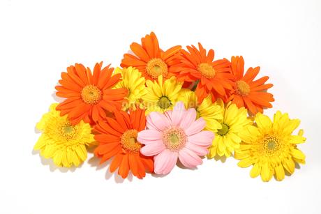 ガーベラと菊の花束の写真素材 [FYI03426446]