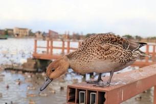 下をのぞく鴨の写真素材 [FYI03426671]