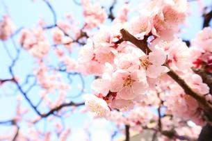 梅の木の写真素材 [FYI03426677]