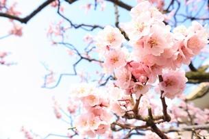 梅の木の写真素材 [FYI03426678]
