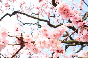 梅の木の写真素材 [FYI03426679]