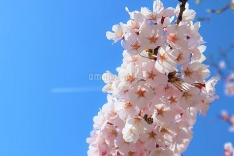 桜と飛行機雲の写真素材 [FYI03426682]