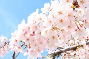 満開の桜の写真素材 [FYI03426683]