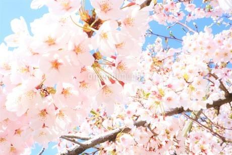 満開の桜の写真素材 [FYI03426684]