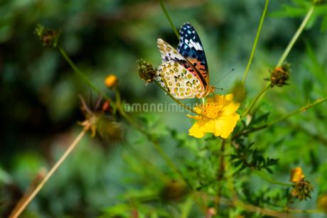蝶の写真素材 [FYI03427037]