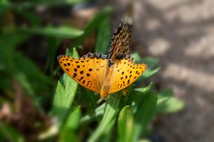 蝶の写真素材 [FYI03427038]