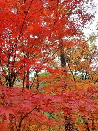 秋、紅葉の写真素材 [FYI03427078]