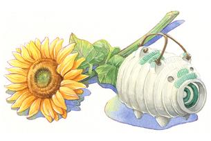 日本の年中行事イラスト:8月/豚蚊遣りと向日葵のイラスト素材 [FYI03427225]