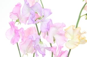 スイートピーの花束の写真素材 [FYI03427325]