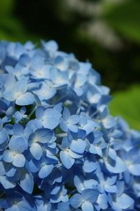 紫陽花の花の写真素材 [FYI03427372]