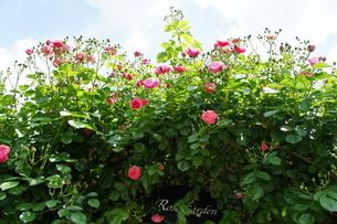 紅い薔薇と緑の葉と空のコントラストが美しいの写真素材 [FYI03427373]
