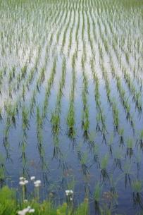 田植えの後、青い空が田んぼの水に映えて美しいの写真素材 [FYI03427405]