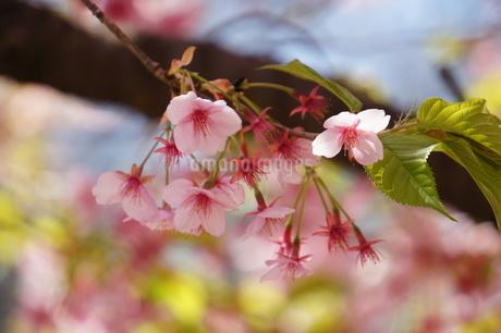 河津桜がピンクに満開の写真素材 [FYI03427407]