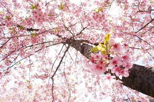 河津桜がピンクに満開の写真素材 [FYI03427409]