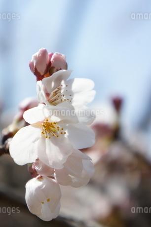 ソメイヨシノの花の写真素材 [FYI03427451]