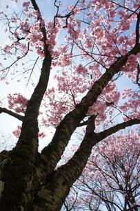 桜満開の写真素材 [FYI03427454]