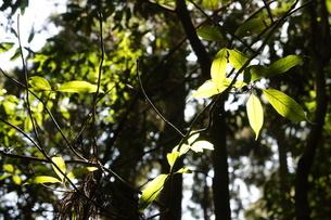 ホオノキの若葉の写真素材 [FYI03427457]