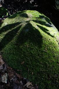 苔むした岩にホオノキの葉の影が落ちているの写真素材 [FYI03427459]