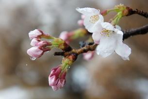 ソメイヨシノに季節外れの雪が積もりました。今にもこぼれそうな水滴ですの写真素材 [FYI03427488]