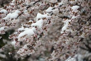 ソメイヨシノに季節外れの雪が積もりました。の写真素材 [FYI03427500]