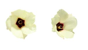 オクラの花の写真素材 [FYI03427794]