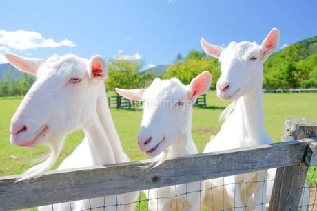 牧場のヤギの写真素材 [FYI03427813]