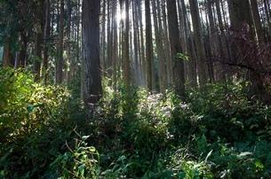 朝の杉林の写真素材 [FYI03427827]