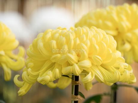 菊の花の写真素材 [FYI03427925]