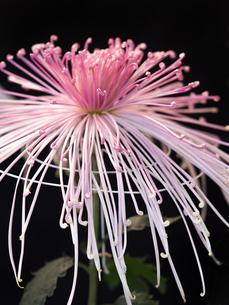 菊の花の写真素材 [FYI03427930]