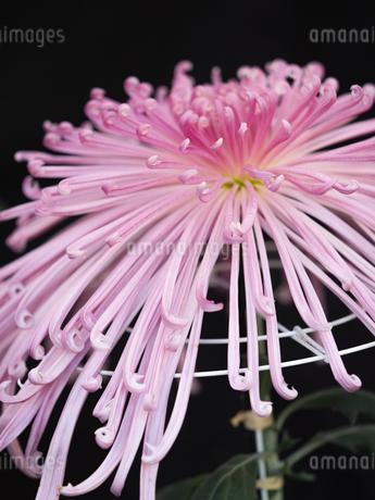 菊の花の写真素材 [FYI03427931]