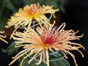 菊の花の写真素材 [FYI03427935]