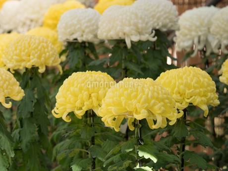 菊の花の写真素材 [FYI03427937]