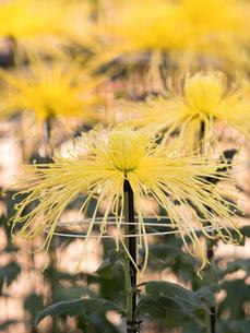 菊の花の写真素材 [FYI03427941]