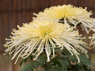 菊の花の写真素材 [FYI03427943]
