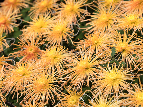 菊の花の写真素材 [FYI03427949]