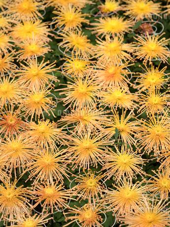 菊の花の写真素材 [FYI03427950]