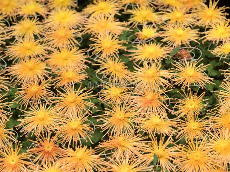 菊の花の写真素材 [FYI03427951]