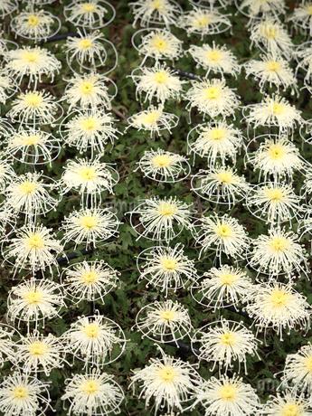菊の花の写真素材 [FYI03427952]
