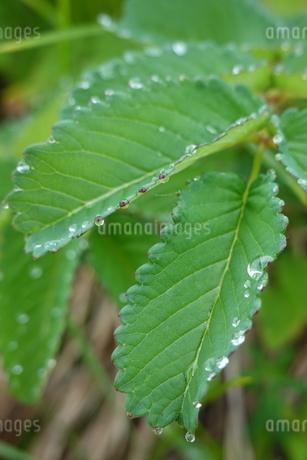 北アルプスの高山植物と水滴の写真素材 [FYI03428851]