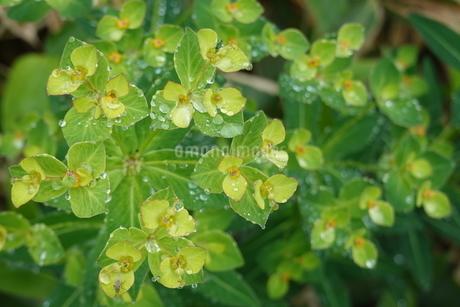 北アルプスの高山植物と水滴の写真素材 [FYI03428852]