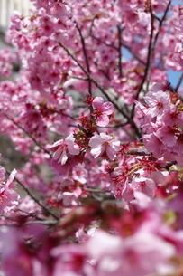 桜の写真素材 [FYI03428853]