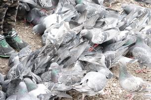 餌に集まる鳩の写真素材 [FYI03428860]