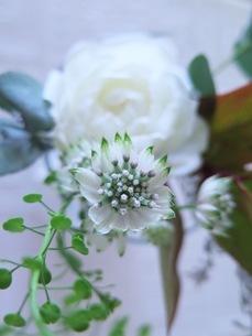 白い花のアストランティアスターオブビリオンの写真素材 [FYI03428886]