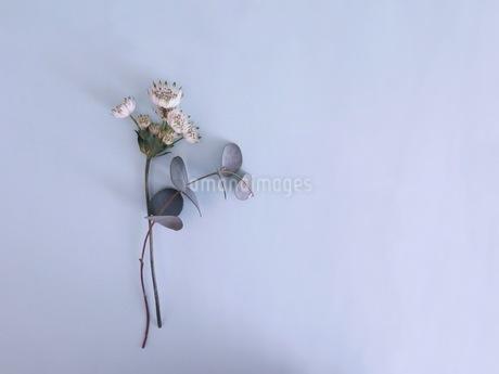 白い花のアストランティアスターオブビリオンの写真素材 [FYI03428887]