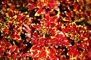 コリウスの赤い葉の写真素材 [FYI03428909]
