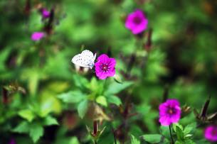 ゲンノショウコの花と蝶の写真素材 [FYI03428912]