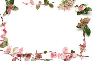 ハツユキカズラの背景画像の写真素材 [FYI03429078]