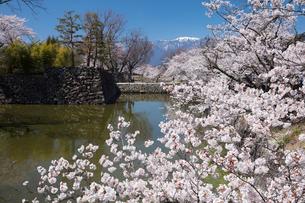 松本城の桜の写真素材 [FYI03429111]